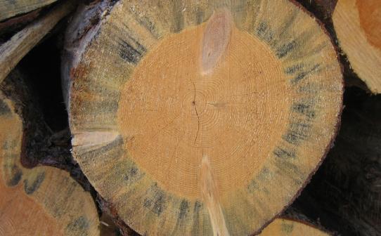 Estetika kayu yang rusak adalah salah satu bentuk kerusakan akibat jamur blue stain.