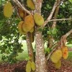 Jenis kayu bergetah seperti dari Pohon Nangka rentan terkena jamur blue stain.