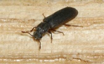 Obat Kumbang Bubuk Permethrine 125 EC
