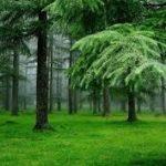 hutan-pinus-lagi