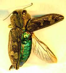 Kumbang kayu