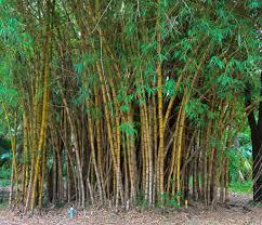 bambu kuning