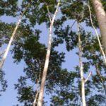 Pohon sengon Sumber Tribunnews