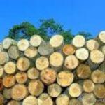 sengon-kayu