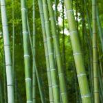 hutan-bambu
