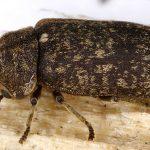 jenis kumbang bubuk kayu