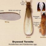 jenis kumbang bubuk kayu 2