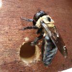 jenis kumbang bubuk kayu 3