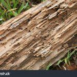 Rayap pada kayu pinus 2