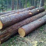 Rayap pada kayu pinus 3