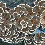 jamur pelapuk kayu iiii
