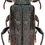 Kumbang The European House Borer Sumber CSIRO