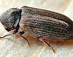 kumbang bubuk kayu perusak kayu