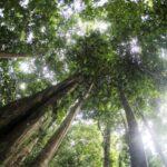 Pohon Ulin Sumber Ayobogor