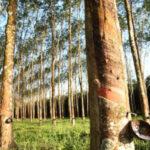 Pohon karet Sumber Teorieno